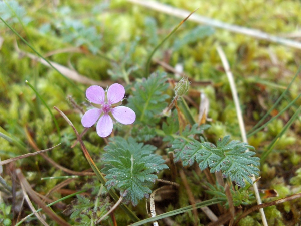 common storksbill / Erodium cicutarium