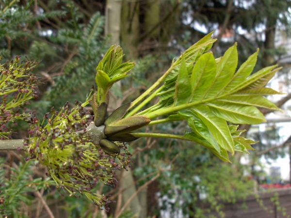 ash / Fraxinus excelsior: Leaves and flowers recently emerged from buds