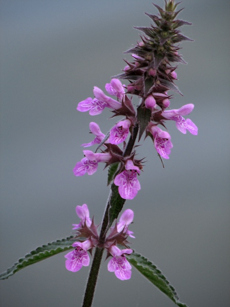 Stachys palustris | Pictorial guide to the flora of the