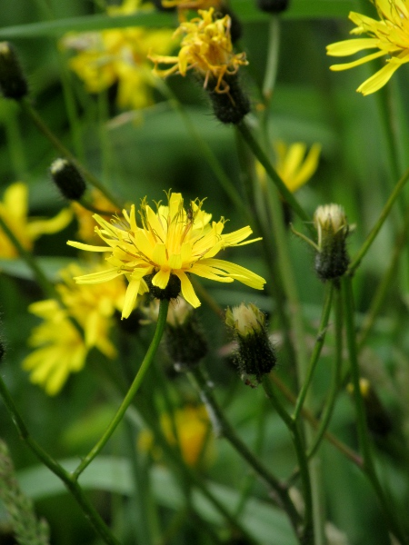 marsh hawk's-beard / Crepis paludosa