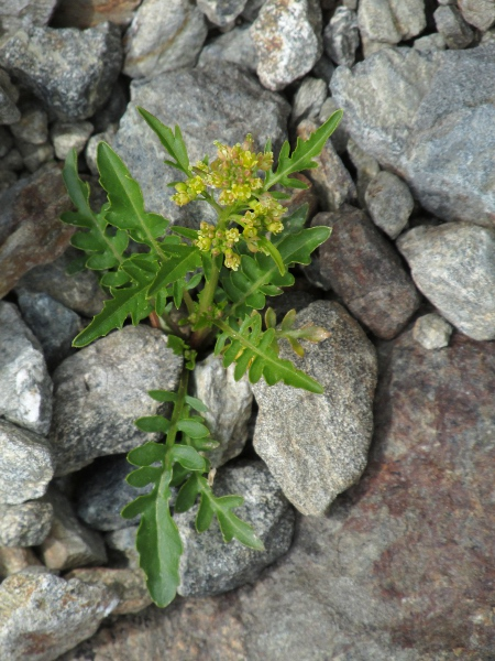 northern yellow-cress / Rorippa islandica: _Rorippa islandica_ is like a small version of _Rorippa palustris_; it grows in damp ground in Ireland, South Wales, Orkney and elsewhere.