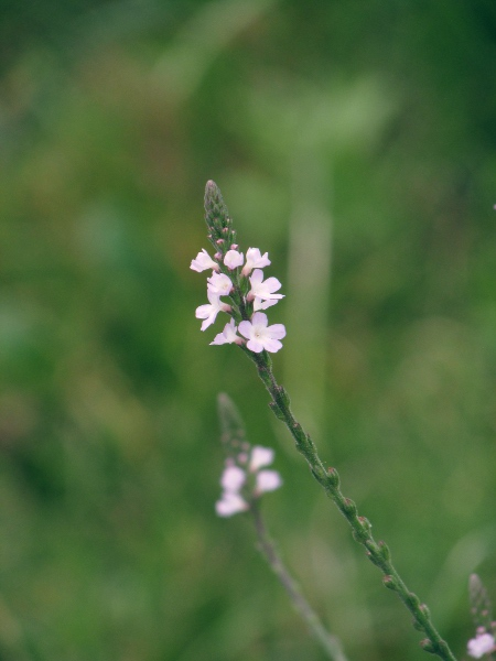 Verbena officinalis | Pictorial guide to the flora of the