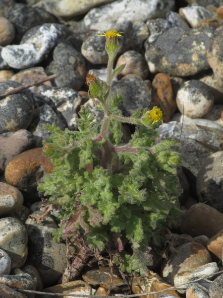 sticky groundsel / Senecio viscosus