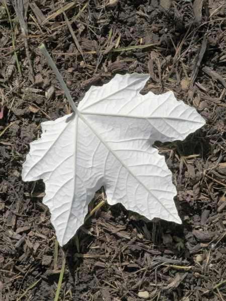 white poplar / Populus alba: _Populus alba_ shares with _Populus_ × _canescens_ the white-felted underside of its leaves.