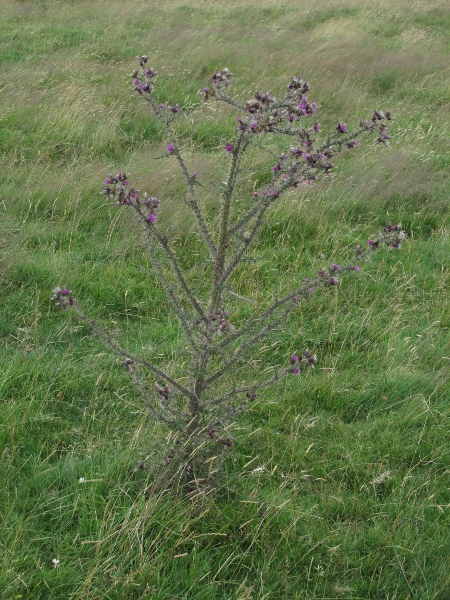 marsh thistle / Cirsium palustre