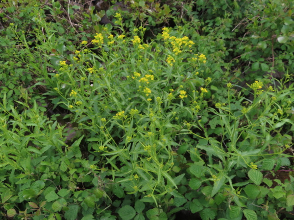Austrian yellow-cress / Rorippa austriaca: _Rorippa austriaca_ has toothed rather than deeply lobed leaves.
