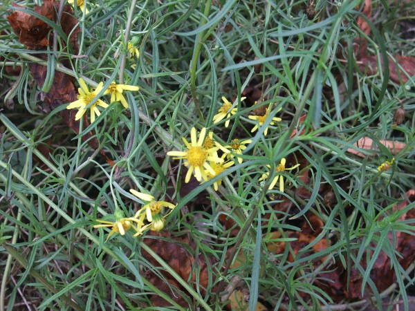 narrow-leaved ragwort / Senecio inaequidens