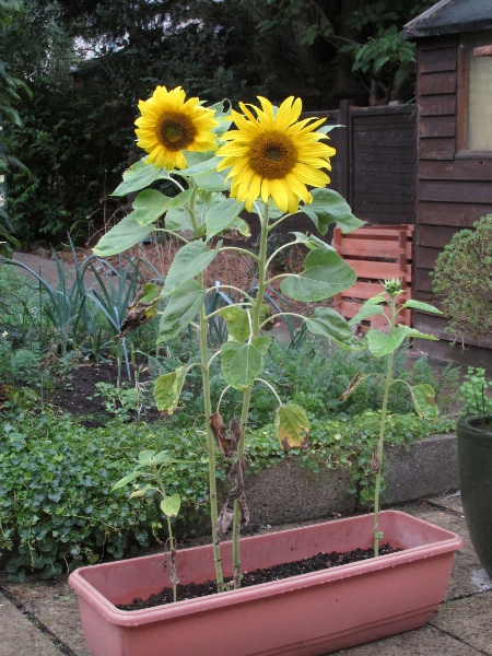 sunflower / Helianthus annuus