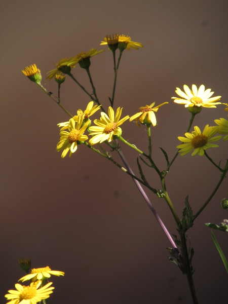 marsh ragwort / Jacobaea aquatica