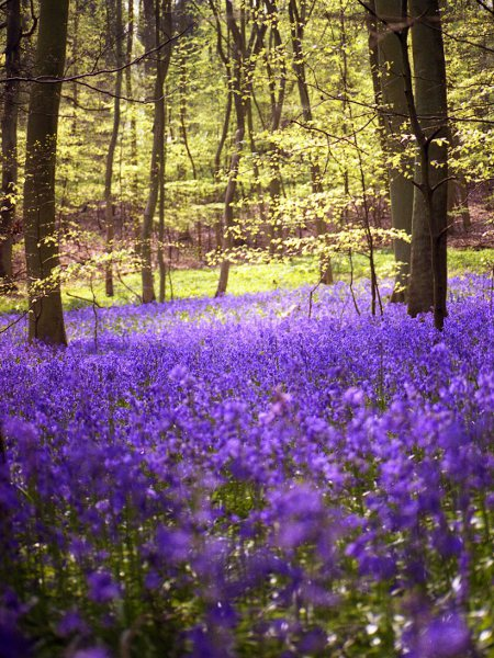 bluebell / Hyacinthoides non-scripta: Pure _Hyacinthoides non-scripta_ has one-sided, nodding racemes of flowers.