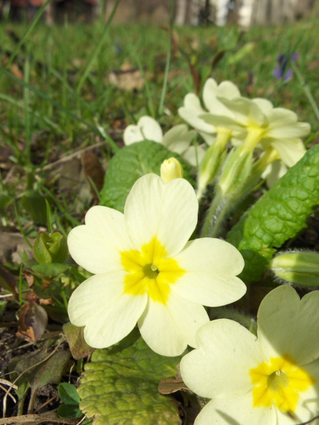 primrose / Primula vulgaris: In this 'pin' individual, the stamens are short and the carpel is long.