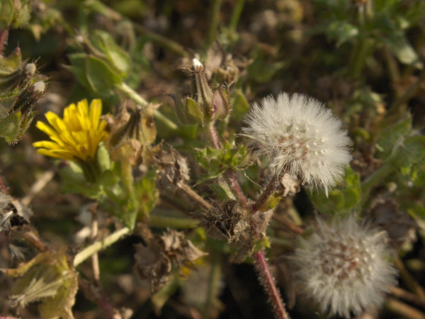 bristly oxtongue / Helminthotheca echioides: In seed
