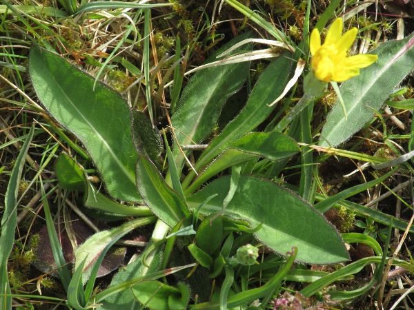 viper's grass / Scorzonera humilis: The leaves of _Scorzonera humilis_ are untoothed.