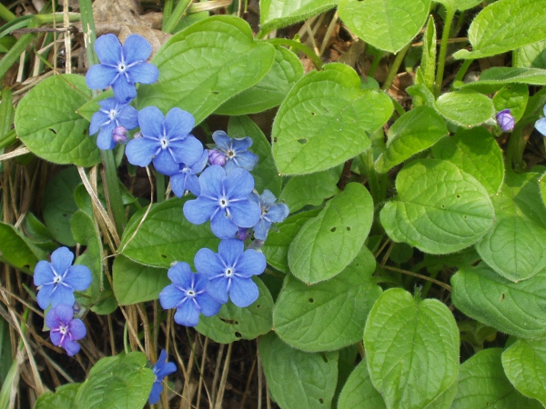 blue-eyed Mary / Omphalodes verna: Habitus
