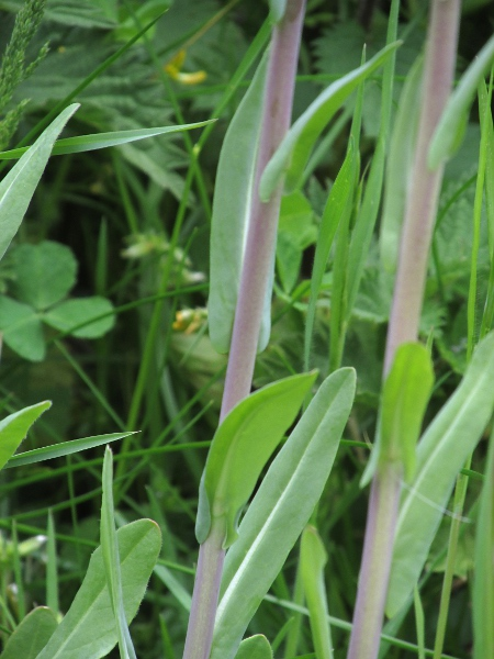 woad / Isatis tinctoria: Stem and leaves
