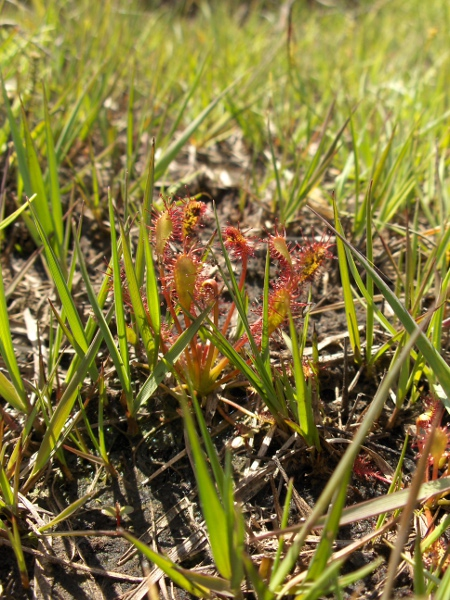 oblong-leaved sundew / Drosera intermedia: _Drosera intermedia_ has longer leaves than _Drosera rotundifolia_ but shorter than _Drosera anglica_.