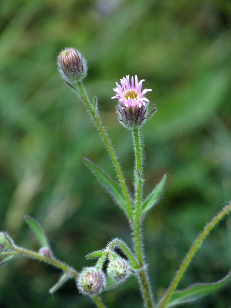 blue fleabane / Erigeron acris: Inflorescences