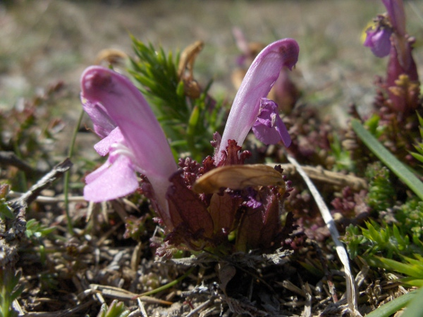 common lousewort / Pedicularis sylvatica subsp. sylvatica
