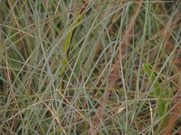 sheep's fescue / Festuca ovina: Foliage