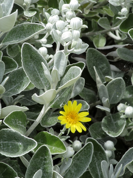 shrub ragwort / Brachyglottis � jubar: Inflorescence and leaves