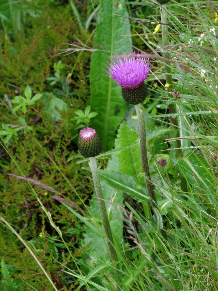 melancholy thistle / Cirsium heterophyllum: _Cirsium heterophyllum_ is a thistle with unwinged, spineless stems; it replaces _Cirsium dissectum_ in the north of Great Britain, but is almost absent from Ireland.