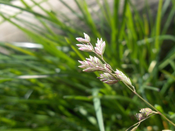 swamp meadow-grass / Poa palustris: Inflorescence