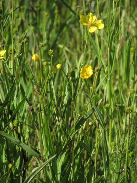 Greater spearwort / Ranunculus lingua