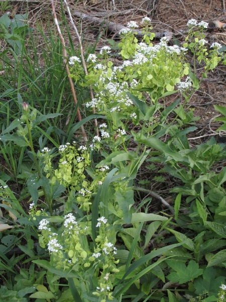 garlic cress / Peltaria alliacea: _Peltaria alliacea_ is a perennial herb native to the Balkans, Hungary and the eastern edge of the Alps in Austria; it persists on the Isle of Skye, having been planted in the late 1980s.