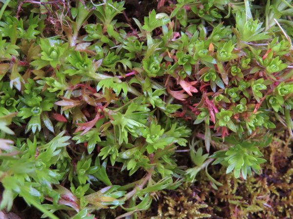 Irish saxifrage / Saxifraga rosacea: _Saxifraga rosacea_ grows on wet rocks in western Ireland; its leaves have pointed lobes, and often turn red.