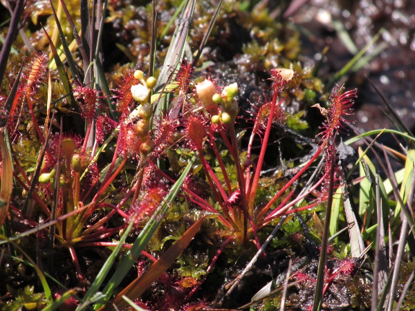 oblong-leaved sundew / Drosera intermedia: With developing flowers