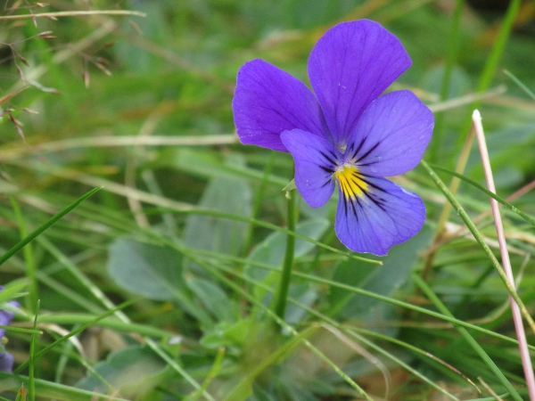 wild pansy / Viola tricolor: Blue-flowering form