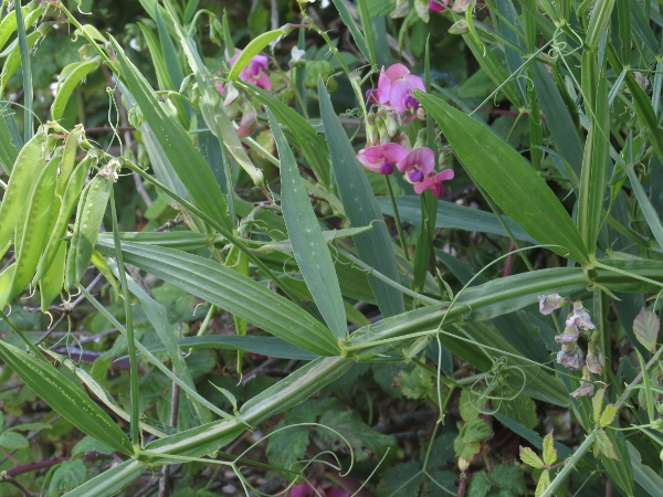 narrow-leaved everlasting pea / Lathyrus sylvestris