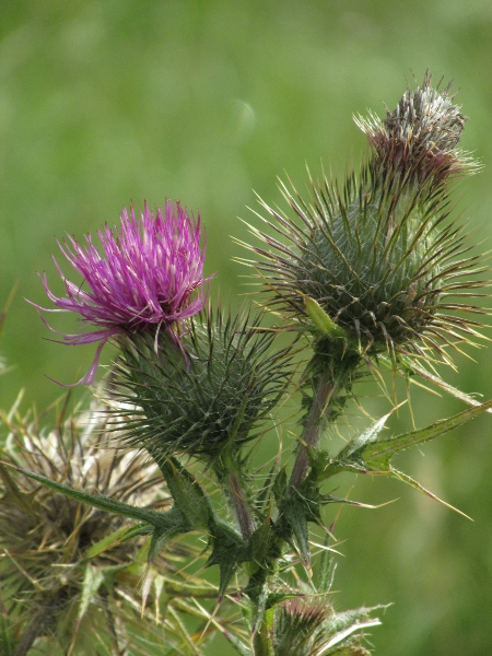spear thistle / Cirsium vulgare