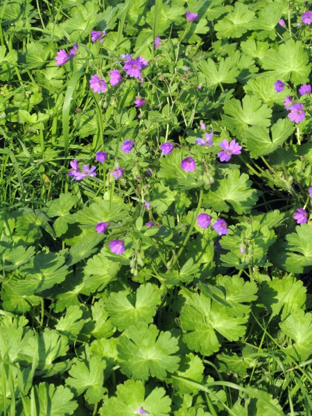 hedgerow cranesbill / Geranium pyrenaicum