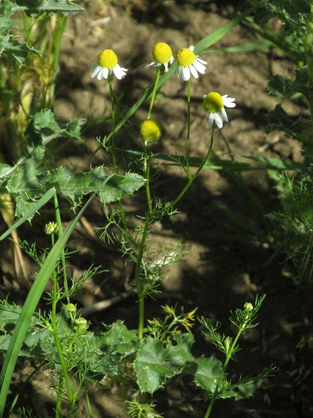 scentless mayweed / Tripleurospermum inodorum