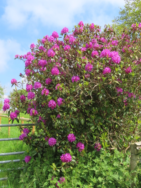 hybrid rhododendron / Rhododendron � superponticum: _Rhododendron_ × _superponticum_ is a hybrid between _Rhododendron ponticum_ and one or more American species.