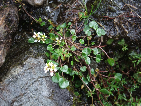 mountain scurvy-grass / Cochlearia micacea: Habitus