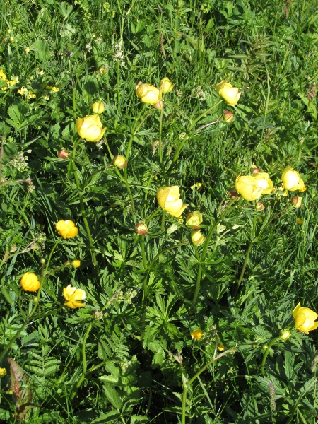 globeflower / Trollius europaeus: Stands of _Trollius europaeus_ can be conspicuous.