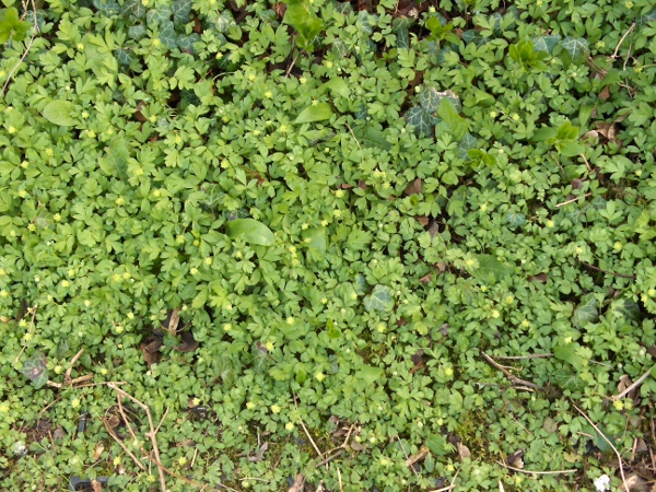 moschatel / Adoxa moschatellina: For a brief time in spring, _Adoxa moschatellina_ can form large carpets, before other species overgrow it.