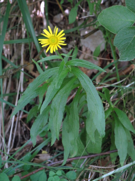 willow-leaved yellow oxeye / Buphthalmum salicifolium