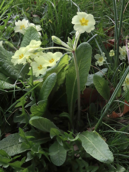 primrose / Primula vulgaris: Although _Primula vulgaris_ usually produces its umbels of flowers at ground level, occasional plants have a tall scape like _P. elatior_ or _P._ × _polyantha_; their tapering-based leaves reveal them to be _P. vulgaris_.