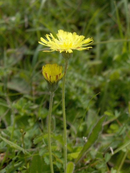 mouse-ear hawkweed / Pilosella officinarum