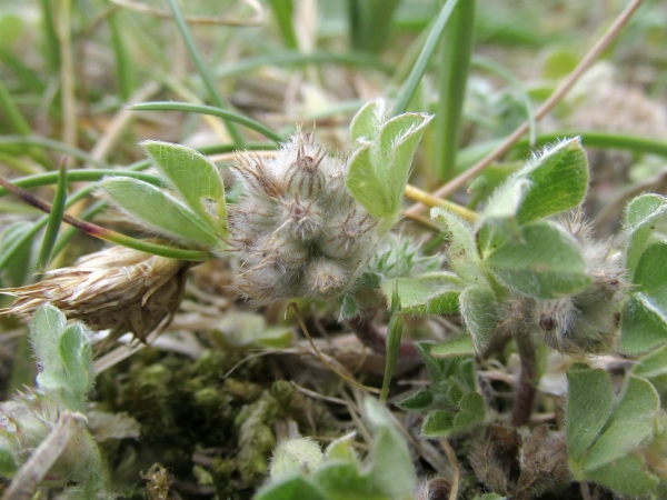 knotted clover / Trifolium striatum: In fruit, the calyx tubes of _Trifolium striatum_ are symmetrically inflated.