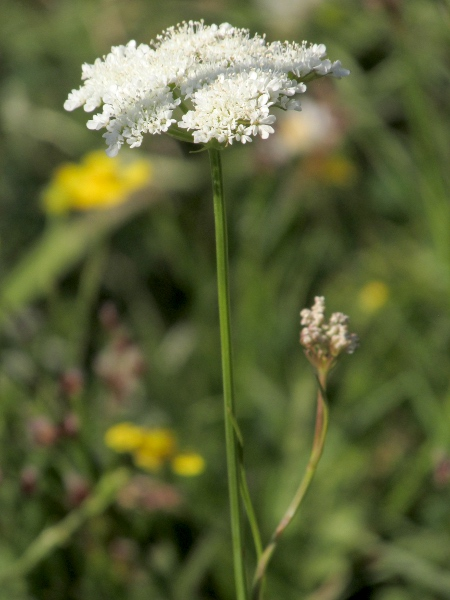 parsley water-dropwort / Oenanthe lachenalii: Inflorescence