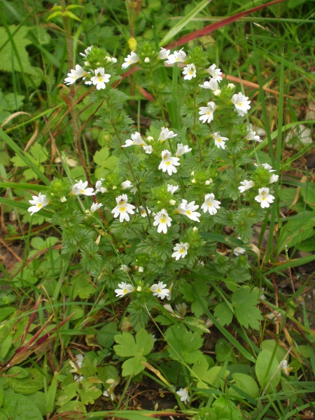 English, montane or Rostkov's eyebright / Euphrasia officinalis