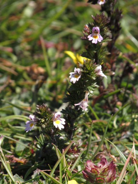 confused eyebright / Euphrasia confusa