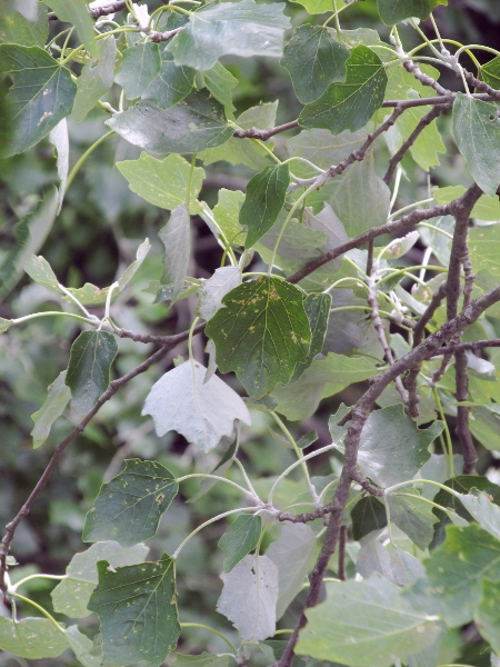 grey poplar / Populus � canescens: _Populus_ × _canescens_ is a hybrid between _Populus tremula_ and _Populus alba_; it has the leaf shape of the former, and the hairiness on the leaf underside of the latter.