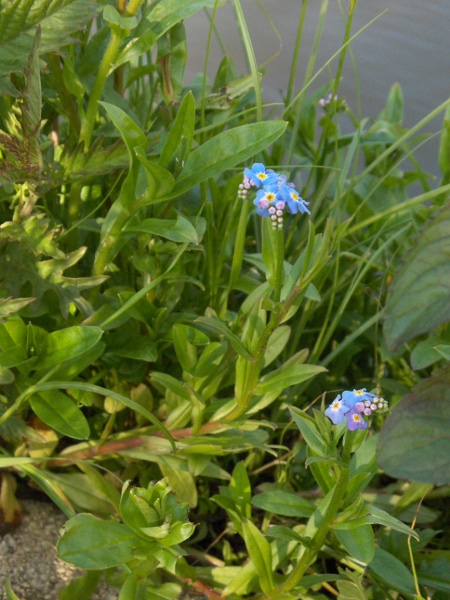 water forget-me-not / Myosotis scorpioides: Habitus