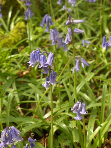 bluebell / Hyacinthoides non-scripta: _Hyacinthoides non-scriptus_ can form brightly coloured carpets in British woodlands in springtime.