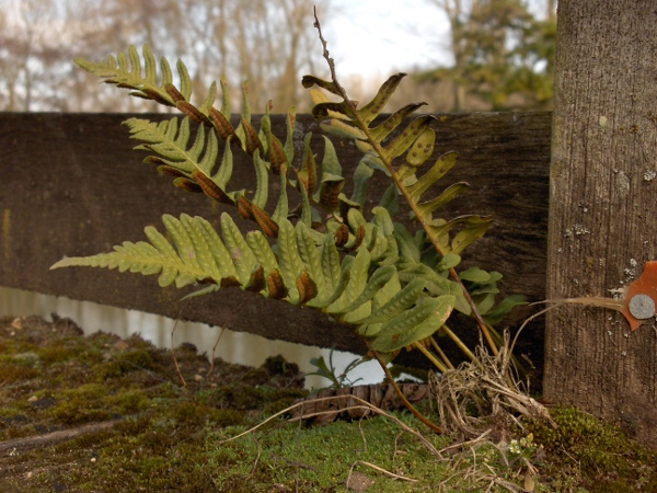 intermediate polypody / Polypodium interjectum: _Polypodium interjectum_ has leaves at least twice as long as wide (unlike _Polypodium cambricum_), and elliptic–oblong sori (unlike _Polypodium vulgare_).